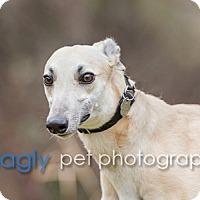 Adopt A Pet :: Mia - Dallas, TX