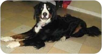 Bernese Mountain Dog Dog for adoption in Ile-Perrot, Quebec - Onyx