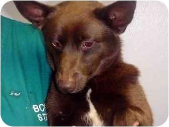 Corgi/Terrier (Unknown Type, Medium) Mix Dog for adoption in Manassas, Virginia - Cous Cous
