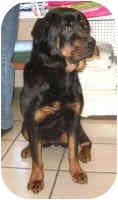 Rottweiler Dog for adoption in Oswego, Illinois - AVA