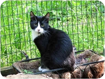 Domestic Shorthair Cat for adoption in Columbia, Maryland - Davey & Goliath