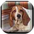 Basset Hound Dog for adoption in Marietta, Georgia - Lily