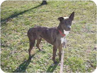 Australian Shepherd Mix Dog for adoption in Bedford, Virginia - Petie