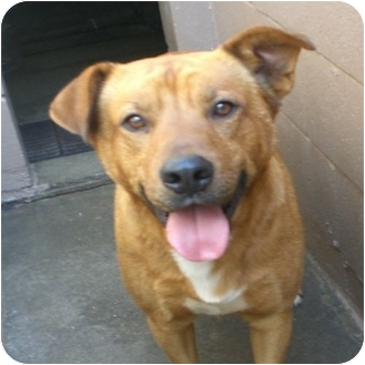 Labrador Retriever Mix Dog for adoption in Gaffney, South Carolina - Hogan