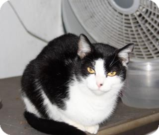 Domestic Shorthair Cat for adoption in Redwood, Mississippi - Shania