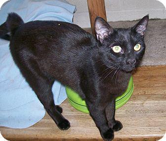 Hemingway/Polydactyl Cat for adoption in Scottsdale, Arizona - Casanova