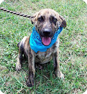 Mountain Cur/Plott Hound Mix Dog for adoption in Glastonbury, Connecticut - HANK