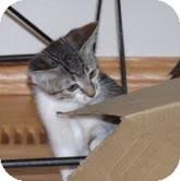 Domestic Shorthair Kitten for adoption in Okotoks, Alberta - Poppy