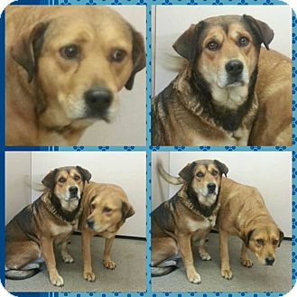 German Shepherd Dog/Hound (Unknown Type) Mix Dog for adoption in Louisburg, North Carolina - Peanut