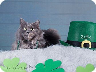Domestic Mediumhair Cat for adoption in Rock Springs, Wyoming - Zaffre