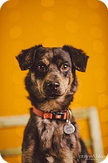 Beagle/Australian Shepherd Mix Dog for adoption in Portland, Oregon - Roubles