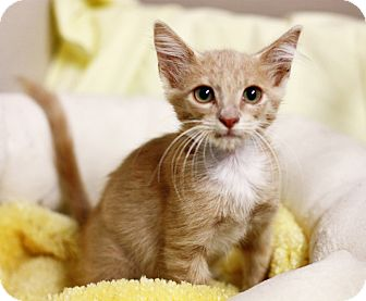 Domestic Shorthair Kitten for adoption in Everman, Texas - Gus
