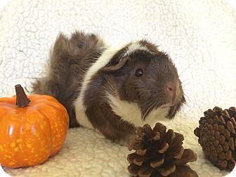 Guinea Pig for adoption in Fullerton, California - Susan B. Anthony