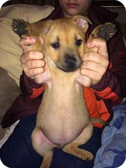 Shepherd (Unknown Type)/Chow Chow Mix Puppy for adoption in Croydon, New Hampshire - Taz -adopted!