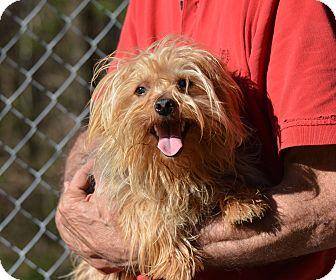 Yorkie, Yorkshire Terrier Dog for adoption in Groton, Massachusetts - McClain