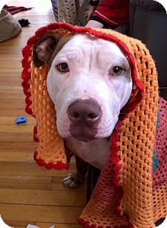 Pit Bull Terrier Mix Dog for adoption in Newtown, Connecticut - Emeline