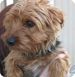 Yorkie, Yorkshire Terrier Mix Dog for adoption in Newburgh, Indiana - Bonnie PENDING