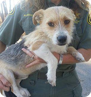 Terrier (Unknown Type, Small) Mix Dog for adoption in Brattleboro, Vermont - Oscar Meyer