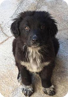 Border Collie/Labrador Retriever Mix Puppy for adoption in Charlotte, North Carolina - Micah
