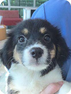 Border Collie Mix Puppy for adoption in CUMMING, Georgia - Cassie