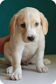 Labrador Retriever Mix Puppy for adoption in Waldorf, Maryland - Kit Kat