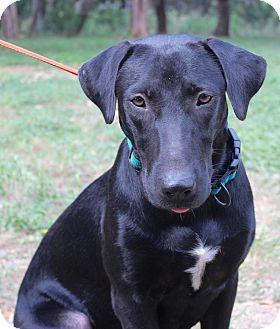 Labrador Retriever Mix Dog for adoption in Madison, Wisconsin - EBONY