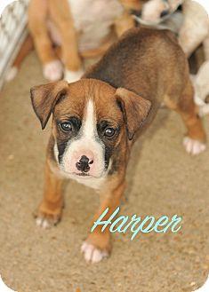 Boxer/Australian Cattle Dog Mix Puppy for adoption in Colmar, Pennsylvania - Harper