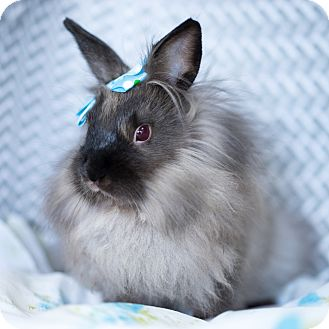 Lionhead Mix for adoption in Montclair, California - Barbara