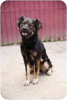 Australian Shepherd Mix Dog for adoption in Portland, Oregon - Gretchen