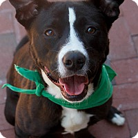 Adopt A Pet :: Amigo - Washington, DC