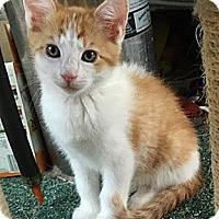 Adopt A Pet :: Lester - N. Billerica, MA