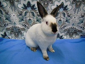 Californian Mix for adoption in Scotts Valley, California - Jersey