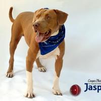 American Staffordshire Terrier Mix Dog for adoption in Port Charlotte, Florida - Jasper