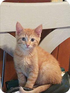 Domestic Shorthair Kitten for adoption in Palatine, Illinois - Mango