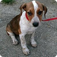 Adopt A Pet :: Georgie - Harrisonburg, VA