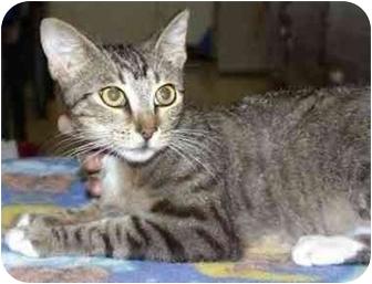 Domestic Shorthair Kitten for adoption in Miami Beach, Florida - Buddy Love