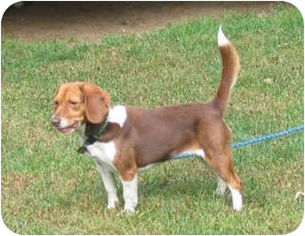 Beagle Dog for adoption in Blairstown, New Jersey - Amber