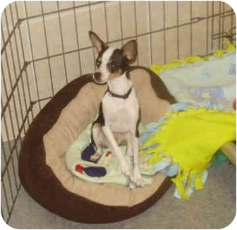 Chihuahua Mix Dog for adoption in Chester, Maryland - Jax
