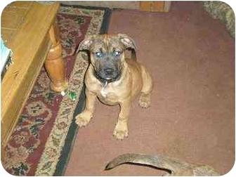 American Pit Bull Terrier/American Pit Bull Terrier Mix Puppy for adoption in Rougemont, North Carolina - Autumn