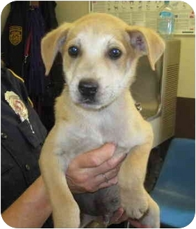Husky/Labrador Retriever Mix Puppy for adoption in Stillwater, Oklahoma - Cornell