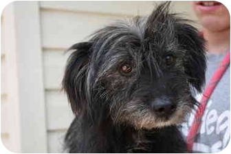 Terrier (Unknown Type, Medium)/Schnauzer (Miniature) Mix Dog for adoption in Prince William County, Virginia - Marv