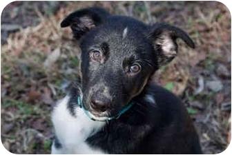 Border Collie/German Shepherd Dog Mix Puppy for adoption in Austin, Texas - Clooney