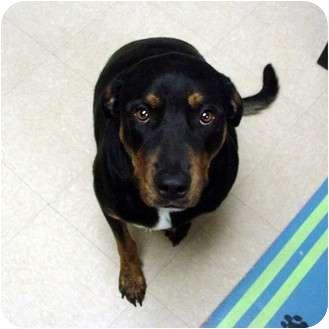 Labrador Retriever/Rottweiler Mix Dog for adoption in Manassas, Virginia - fancy