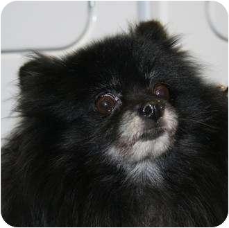 Pomeranian Dog for adoption in Berea, Ohio - Mortimer