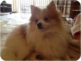 Pomeranian Dog for adoption in Hilliard, Ohio - Pockets