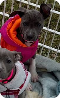 American Pit Bull Terrier Puppy for adoption in Killen, Alabama - Roxy