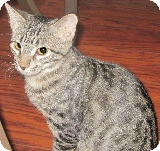 Domestic Shorthair Kitten for adoption in Schertz, Texas - Tobi
