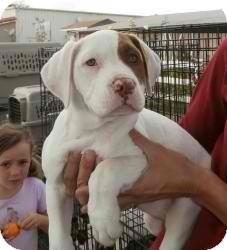 American Bulldog Mix Dog for adoption in Anza, California - Chelo