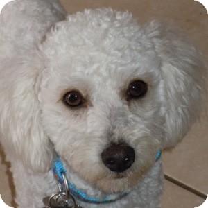 Bichon Frise Mix Dog for adoption in La Costa, California - Cotton