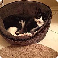 Adopt A Pet :: Domino - Piscataway, NJ